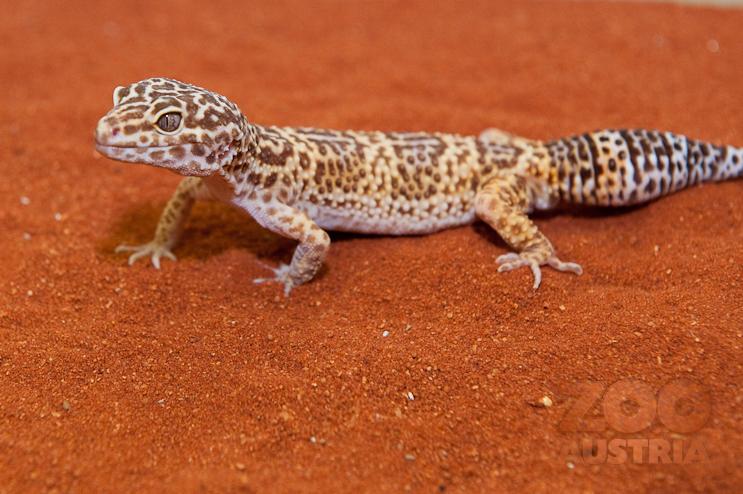 Geckos (Gekkonidae)