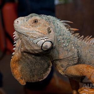 Leguane (Iguanidae)